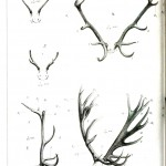 Animal - Deer - Antlers, comparative anatomy 1