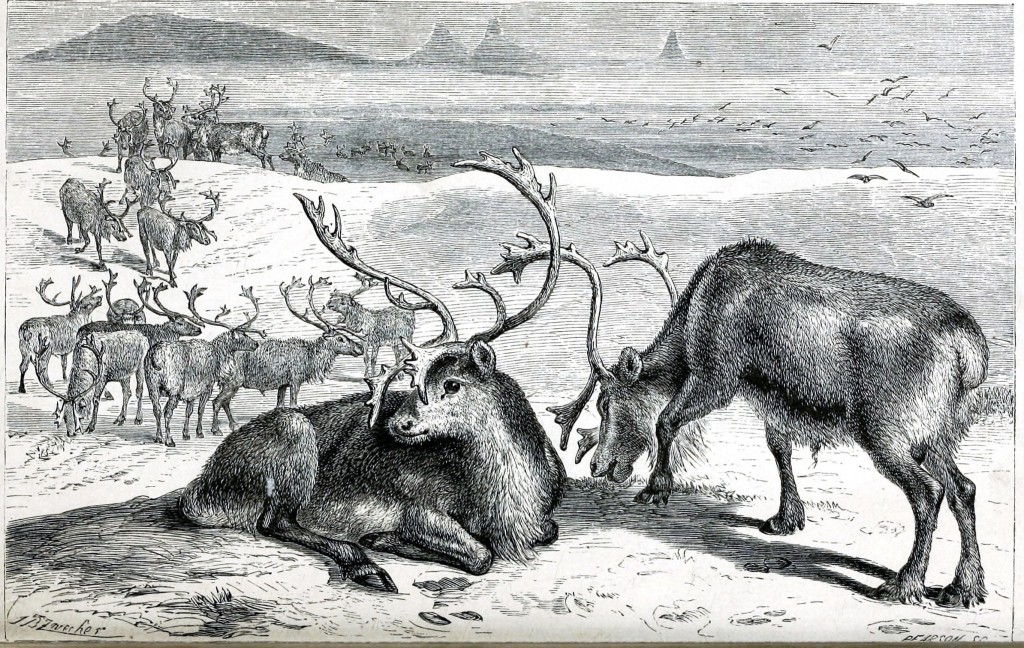 Animal - Deer - Reindeer engraving