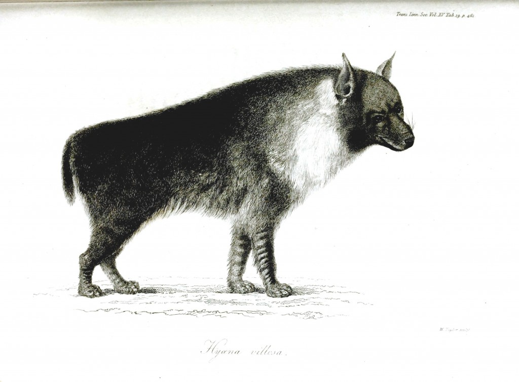 Animal - Dog - Hyena engraving