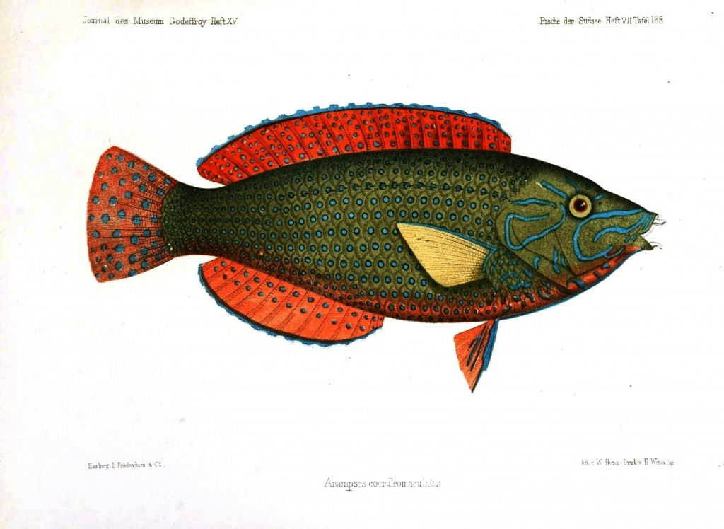 Animal - Fish - Blue and green with orange fins