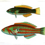 Animal - Fish - Blue-green 2