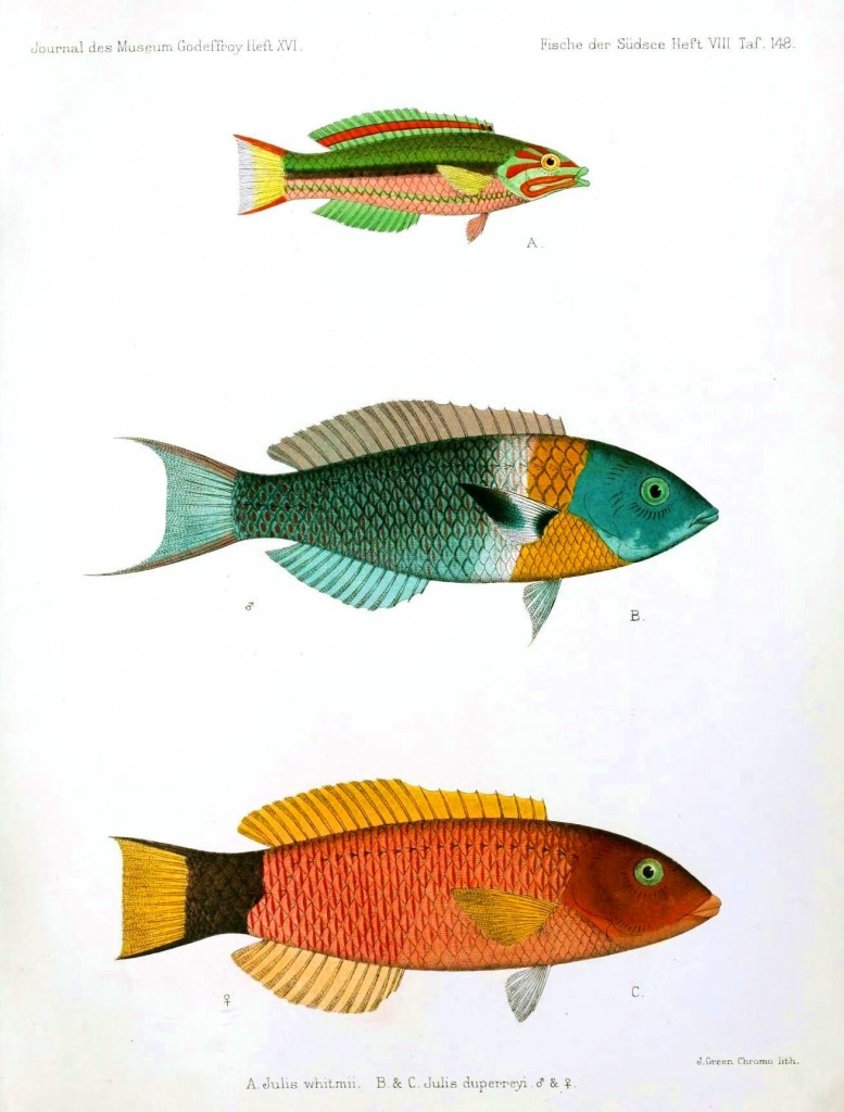 Animal - Fish - Blue-green