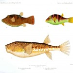 Animal - Fish - Brown spotted