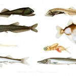 Animal - Fish - Educational plate, fish, various