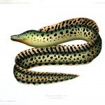 Animal - Fish - Eel, black spots