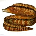 Animal - Fish - Eel, brown with tan squiggles