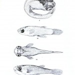 Animal - Fish - Fish embryo