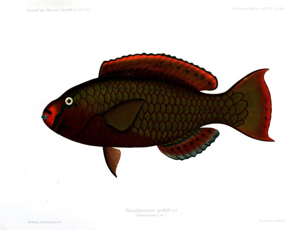 Animal - Fish - Maroon