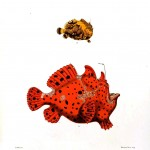 Animal - Fish - Puffer fish, red