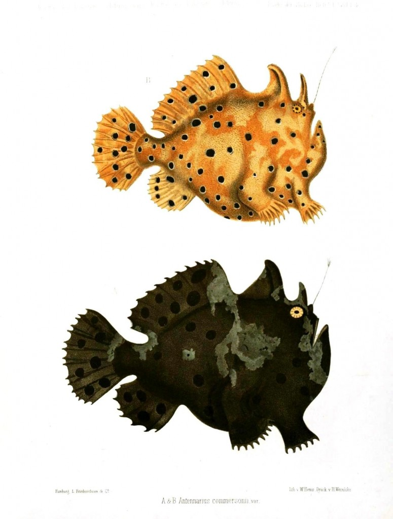 Animal - Fish - Puffer fish, spotted