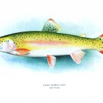 Animal - Fish - Rainbow trout