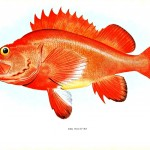 Animal - Fish - Red Rockfish