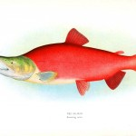 Animal - Fish - Red salmon
