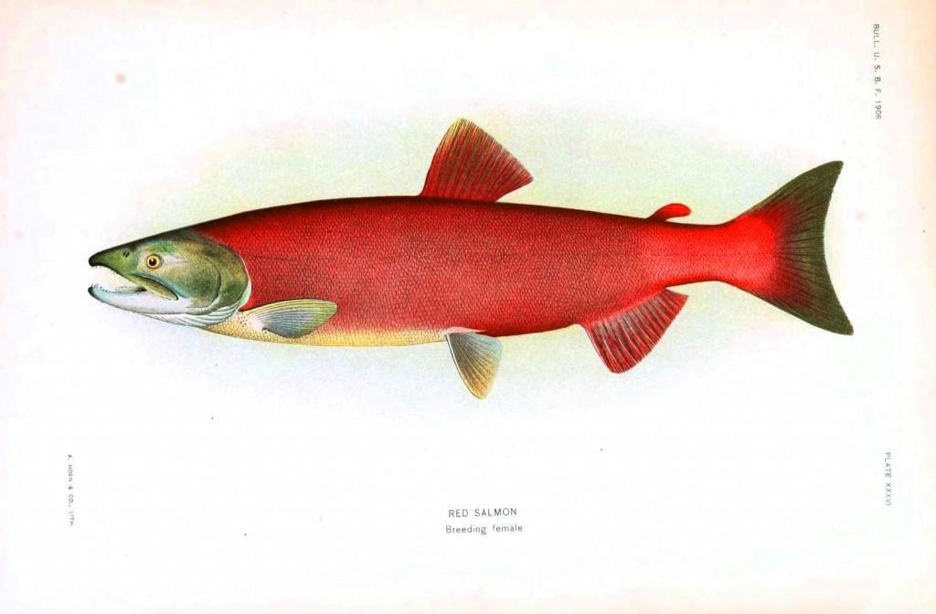 Animal fish red salmon female vintage printable at for Salmon fish pictures
