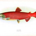 Animal - Fish - Red salmon, female