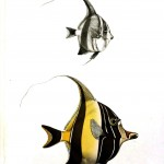 Animal - Fish - Striped angel fish