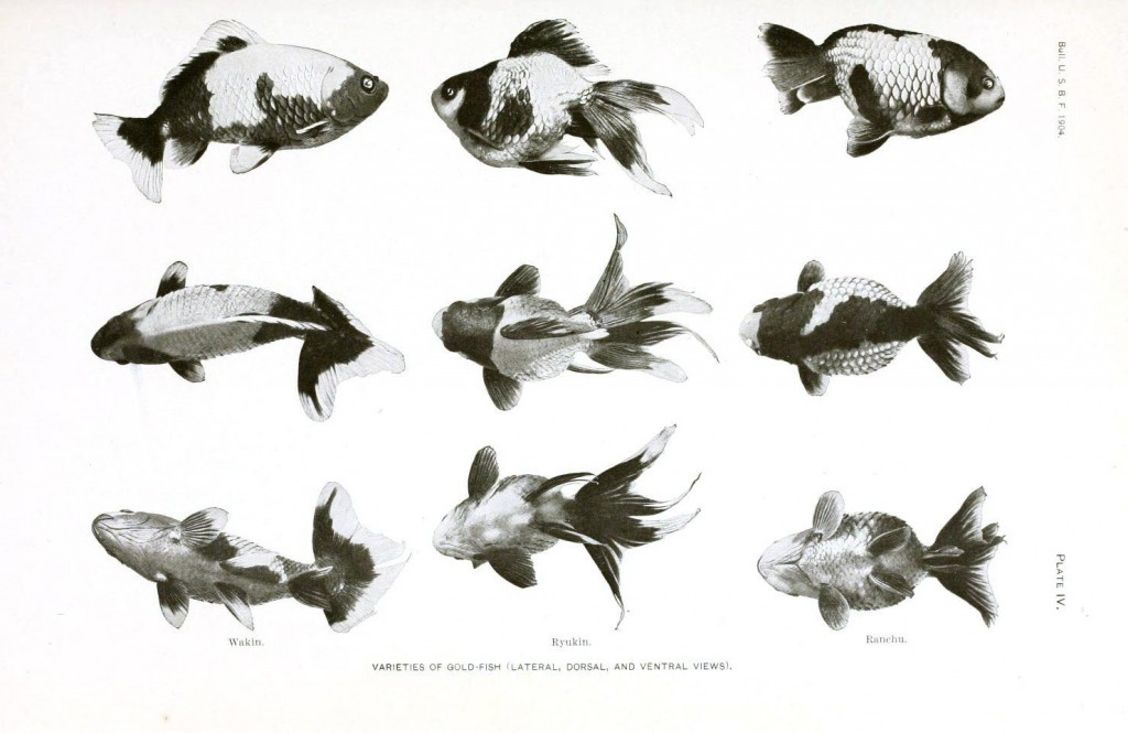 Animal - Fish - Varieties of Goldfish