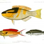 Animal - Fish - Yellow markings