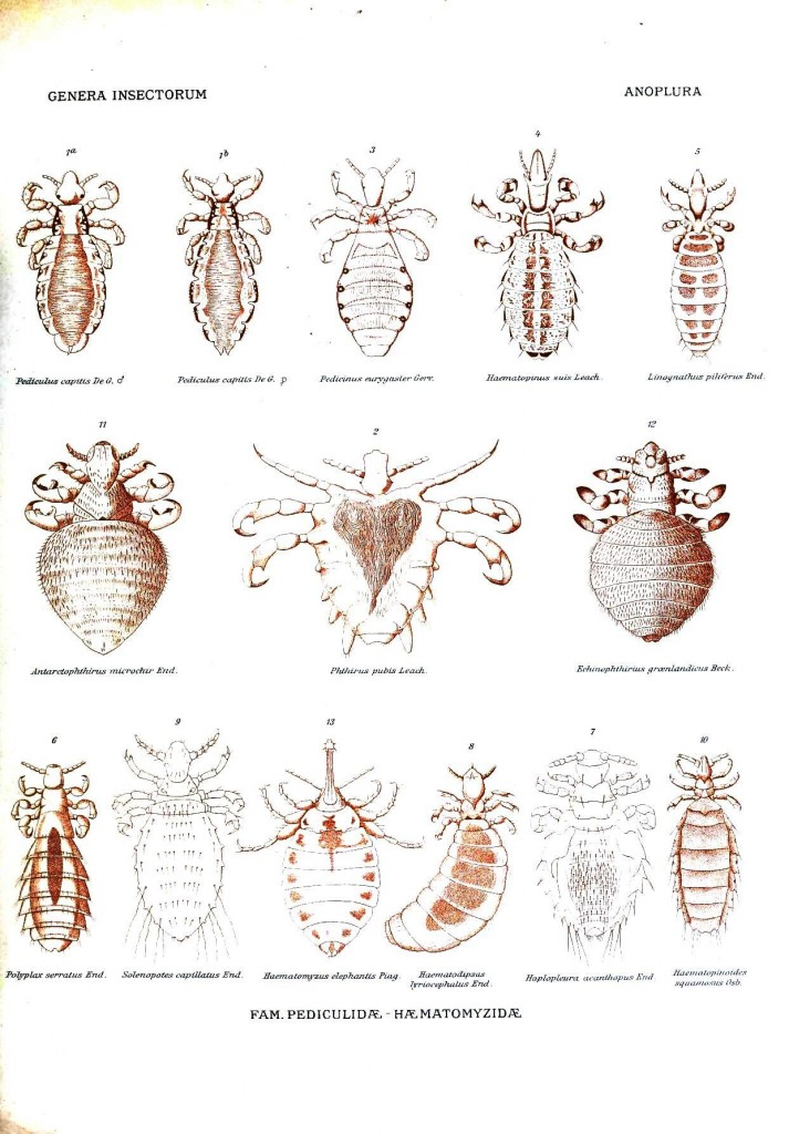 Animal - Insect - Body lice
