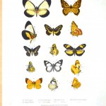 Animal - Insect - Butterflies - Educational plate 4