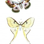 Animal - Insect - Butterflies - Moth 18