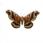 Animal - Insect - Butterflies - Moth 2
