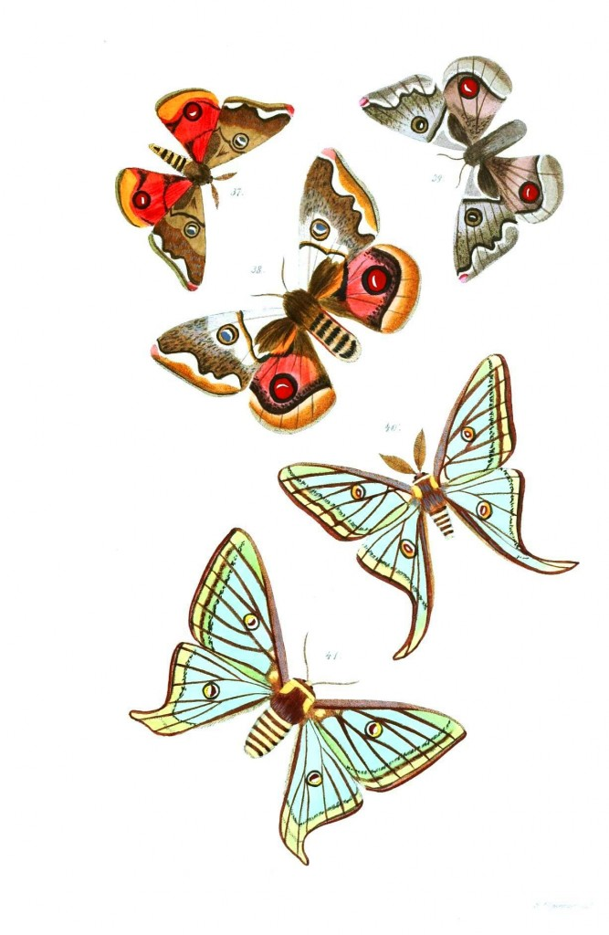 Animal - Insect - Butterflies - Moth 24