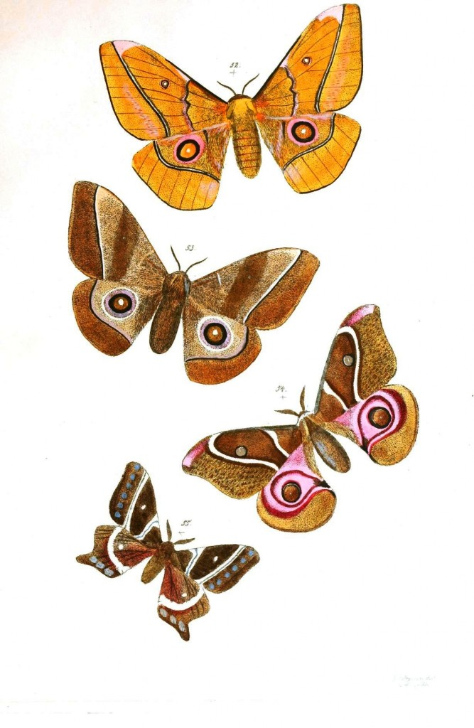 Animal - Insect - Butterflies - Moth 29
