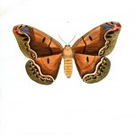 Animal - Insect - Butterflies - Moth 3
