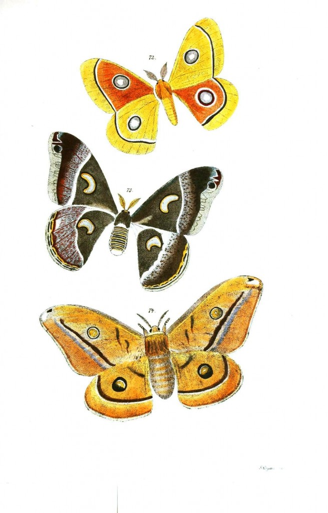Animal - Insect - Butterflies - Moth 37