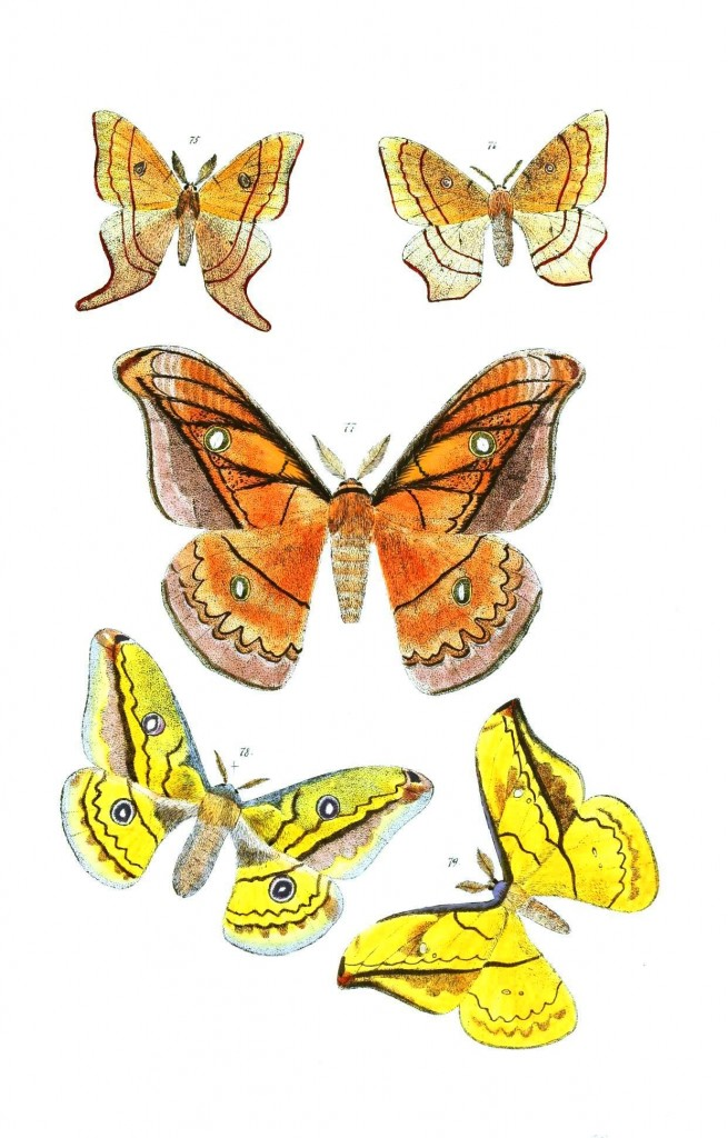 Animal - Insect - Butterflies - Moth 38