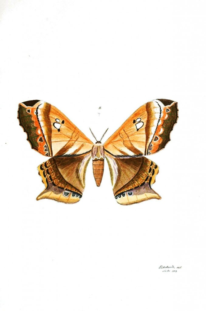 Animal - Insect - Butterflies - Moth 9