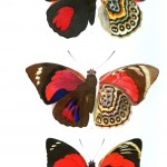 Animal - Insect - Butterflies - Red 1