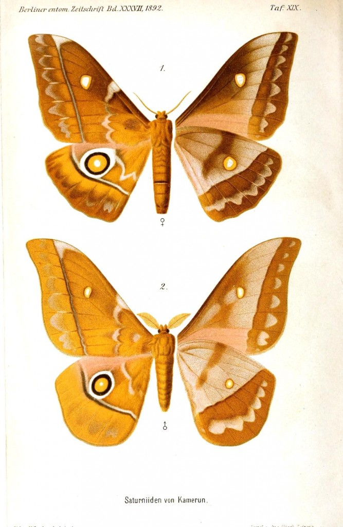 Animal - Insect - Butterflies - Rust colored 1