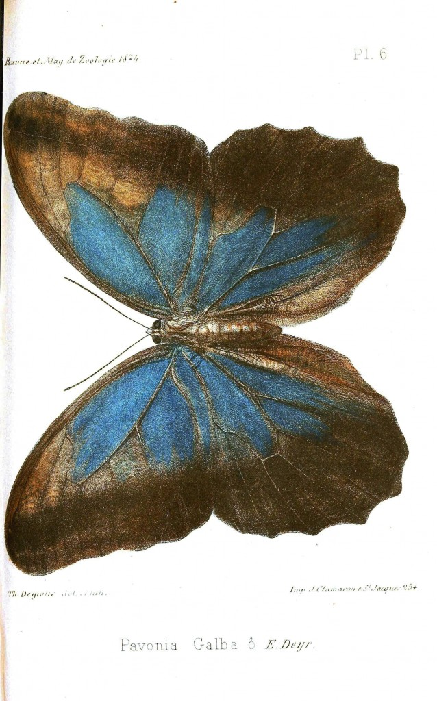 Animal - Insect - Butterfly, Big blue moth