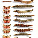 Animal - Insect - Butterfly - Butterflies and caterpillars