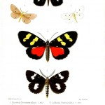 Animal - Insect - Butterfly - Lepidopterologicae - (4)