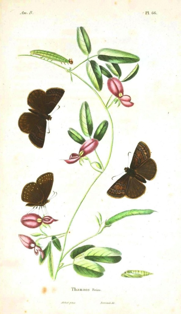 Animal - Insect - Butterfly, on pea plant
