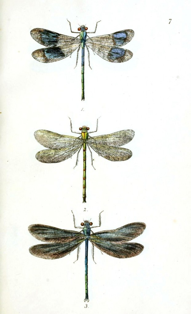 Animal - Insect - Dragonfly 1