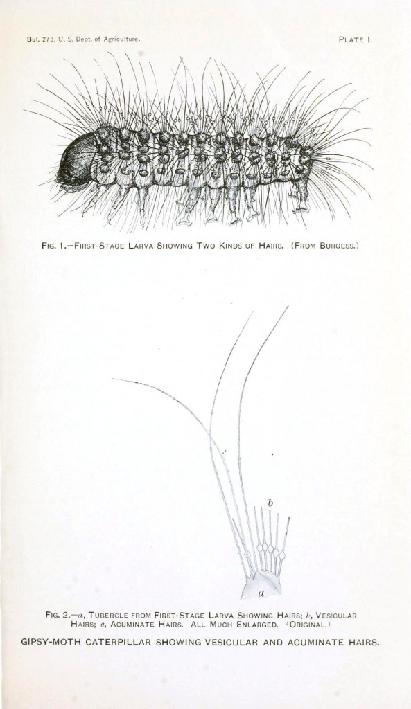 Animal - Insect - Gipsy moth larval hair