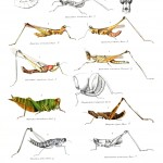 Animal - Insect - Grasshoppers