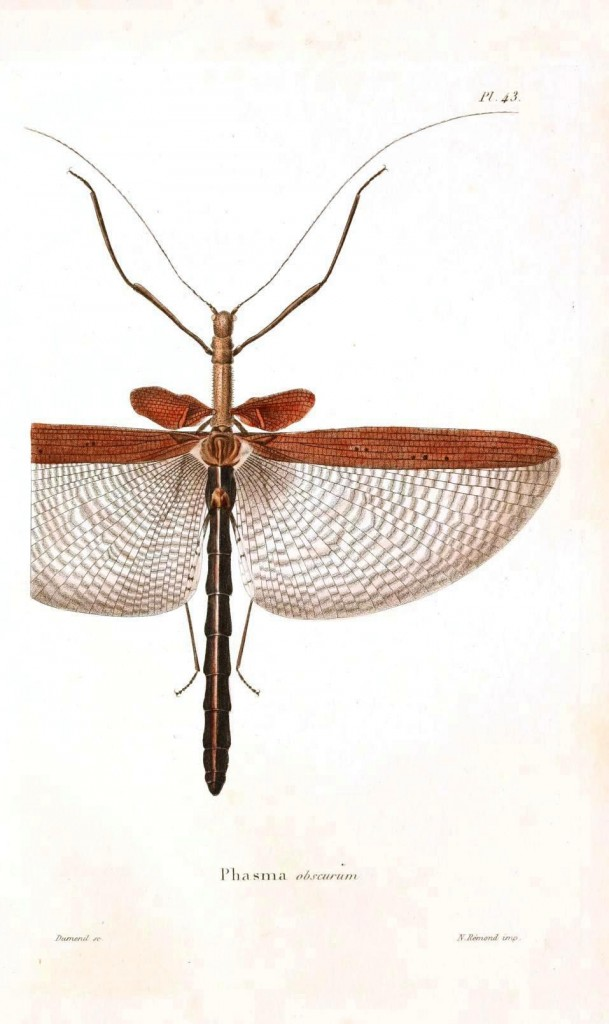 Animal - Insect - Stick insect wings
