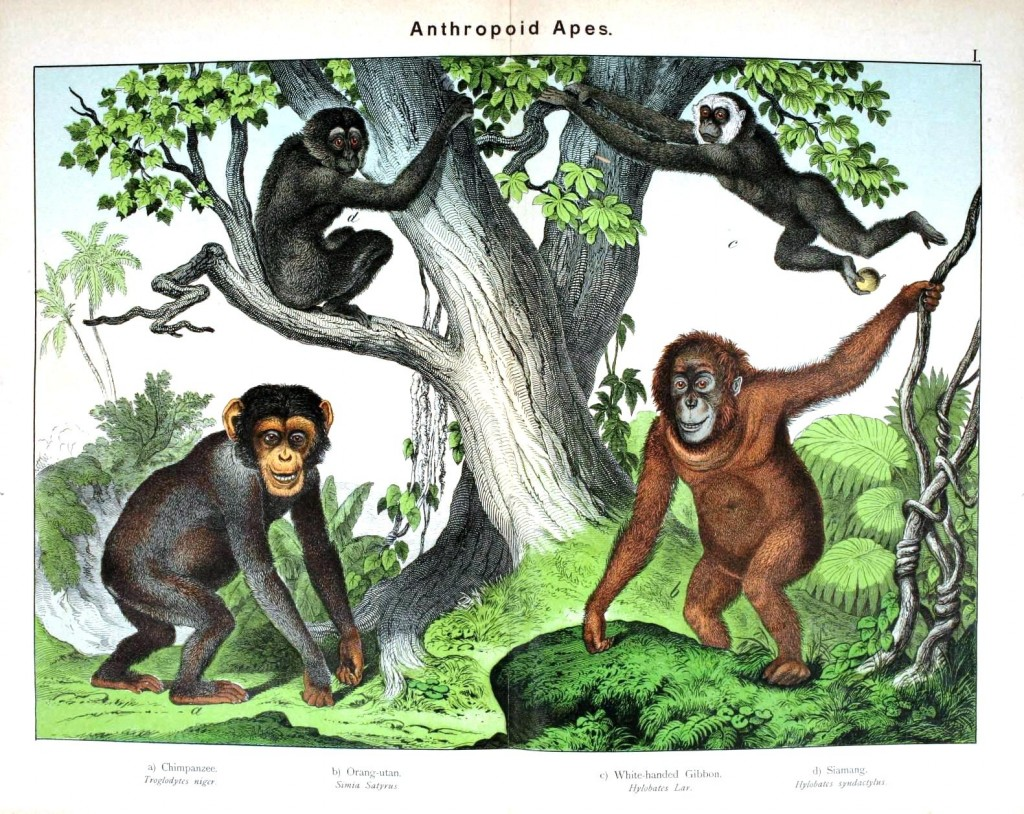 Animal - Non-human primate - Anthropoid apes