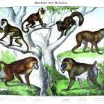 Animal - Non-human primate - Monkeys and baboons