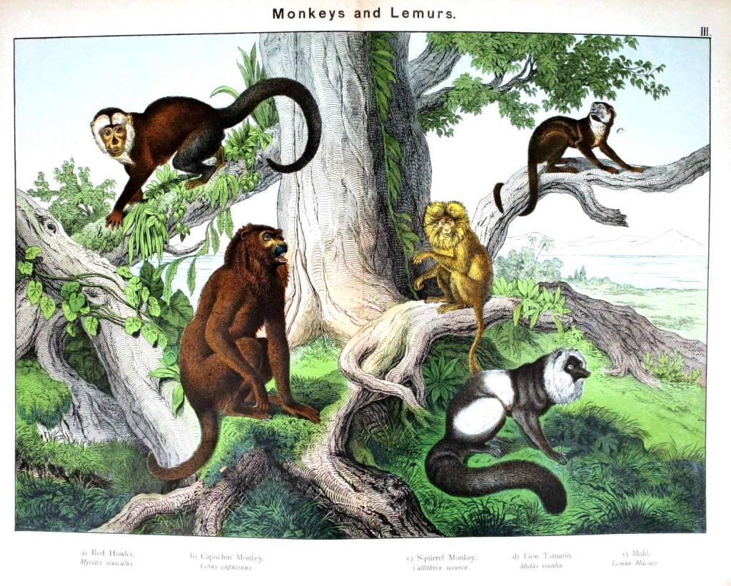 Animal - Non-human primate - Monkeys and lemurs
