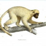 Animal - Non-human primate - White lemur