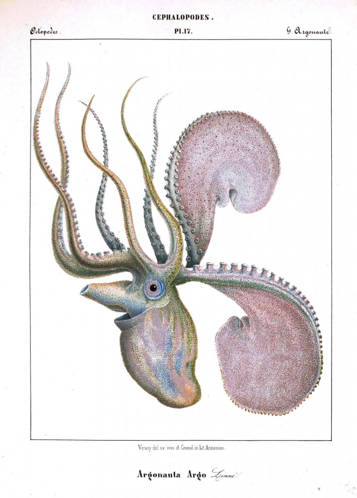 Animal - Octopus - French -  (19)
