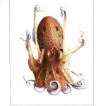 Animal - Octopus - French -  (2)