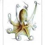 Animal - Octopus - French -  (3)