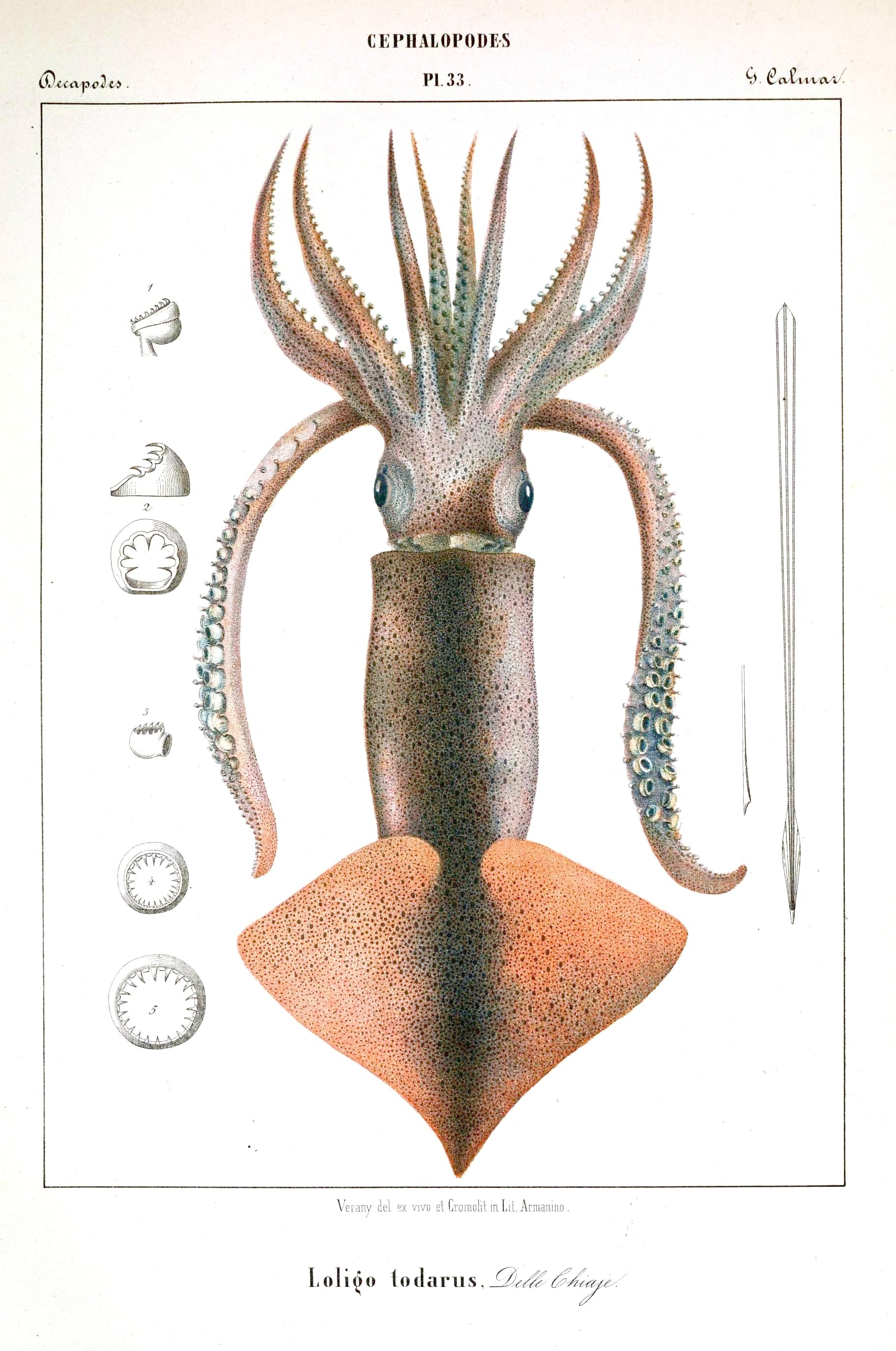 Animal - Octopus - French -  (35)